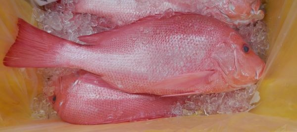 Australian Saddletail Snapper