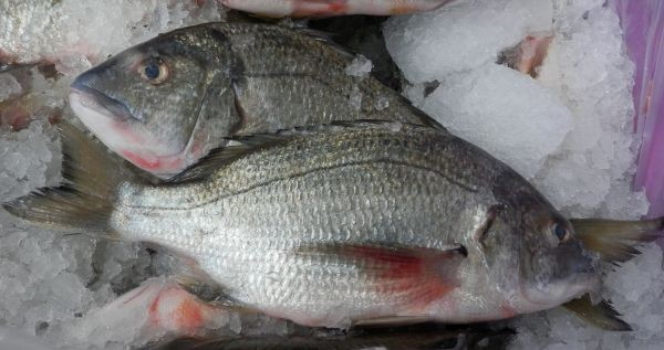 Australian Black Bream