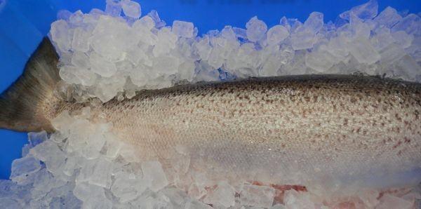 Australian Salmon