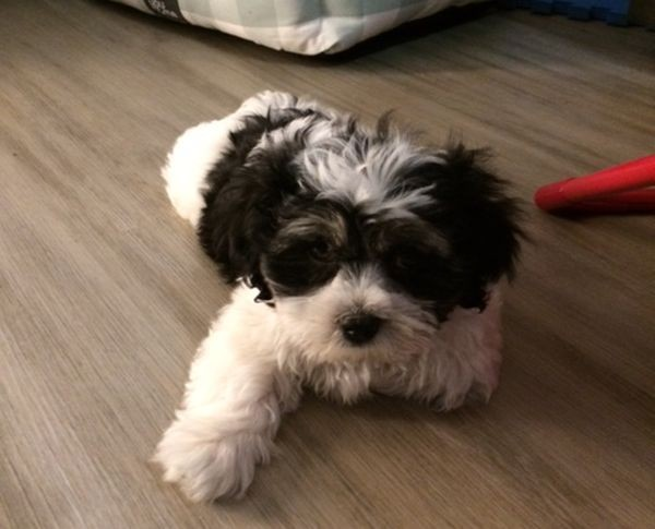 Maximus the Maltese Shih Tzu