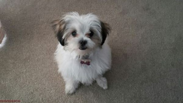 Coco the Maltese Shih Tzu in Bunbury