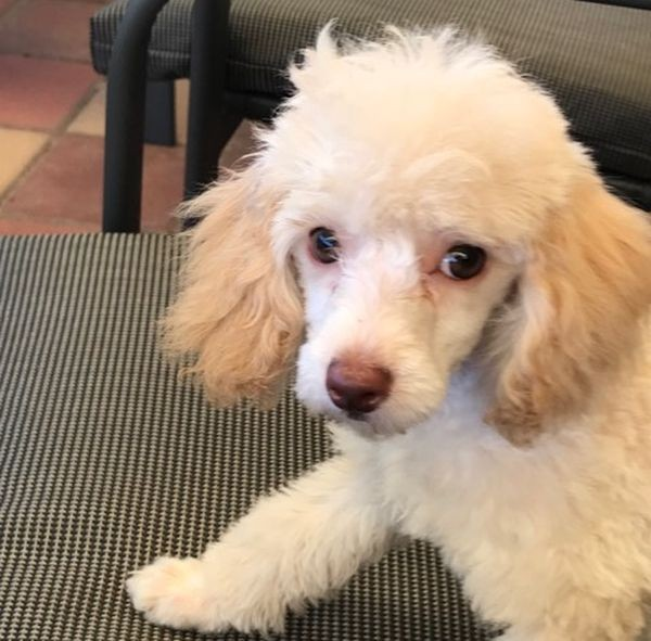 Lady the Toy Poodle in Bennett Springs