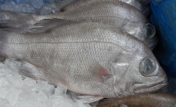 Local WA Robinson Bream