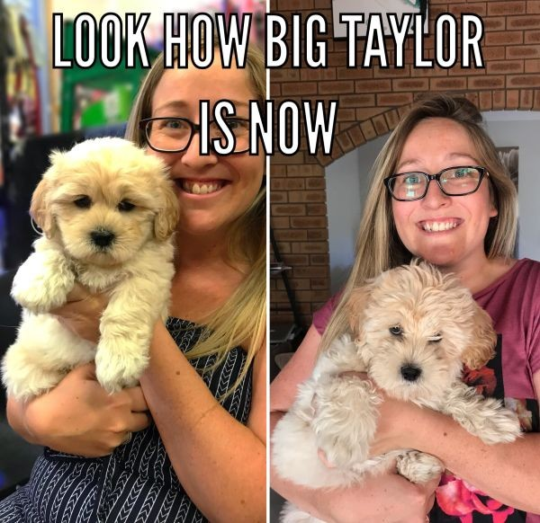 Taylor the Maloodle