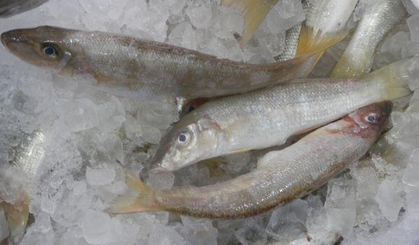 Australian Silver Whiting