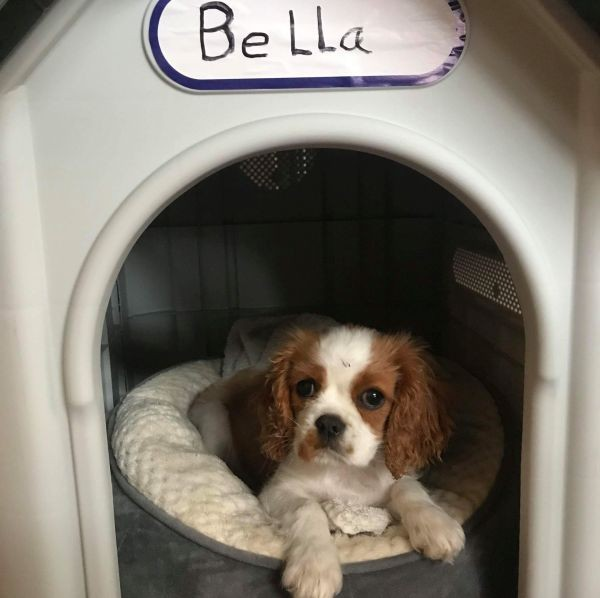 Bella the Cavalier King Charles