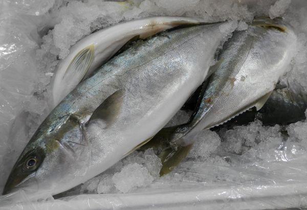 Western Australian Kingfish
