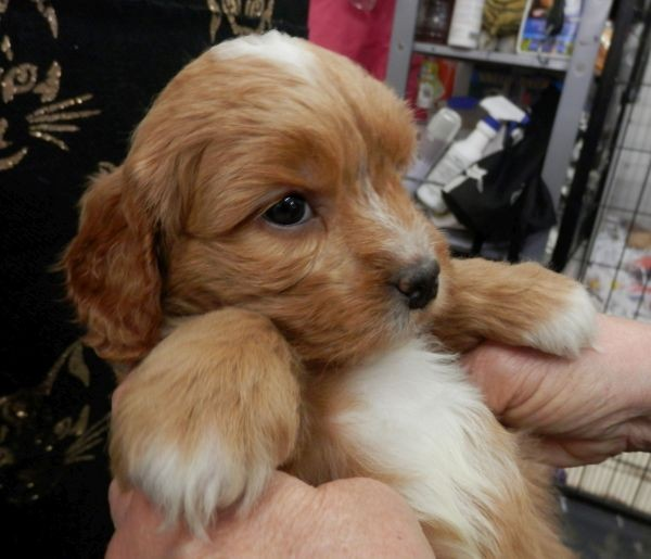 Aug30 Cavoodle male puppy with a mixed brown coat with some white patches and a black collar
