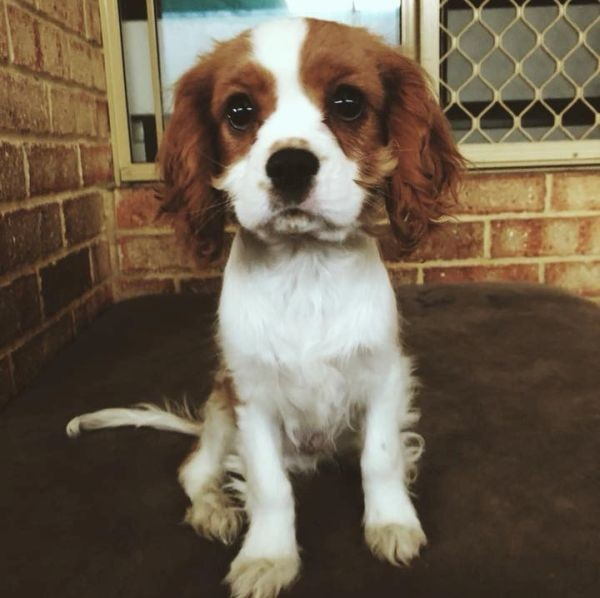 Alfie the Cavalier King Charles