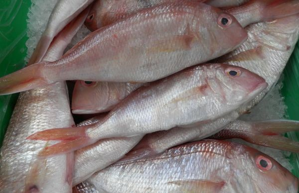 West Australian Threadfin Bream Nov 2018