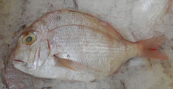 West Australian Frypan Snapper Nov 2018 sometimes called a Panfry bream