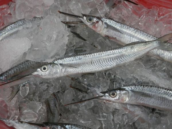 West Australian Garfish