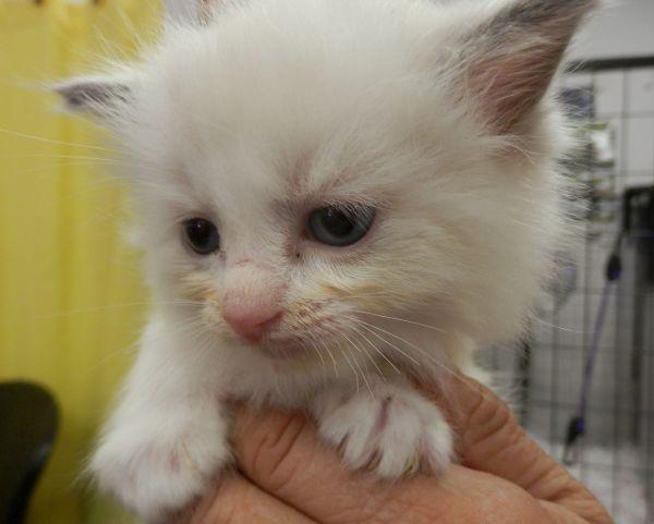 Nov 23 Ragdoll kitten A female with a burgundy collar