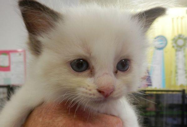 Nov 23 Ragdoll kitten A female with a red collar