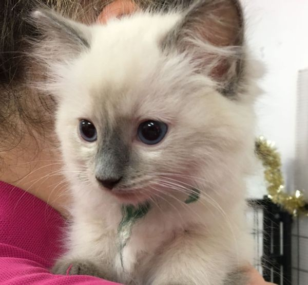 Jan 8 A female Ragdoll kitten with a red and green collar
