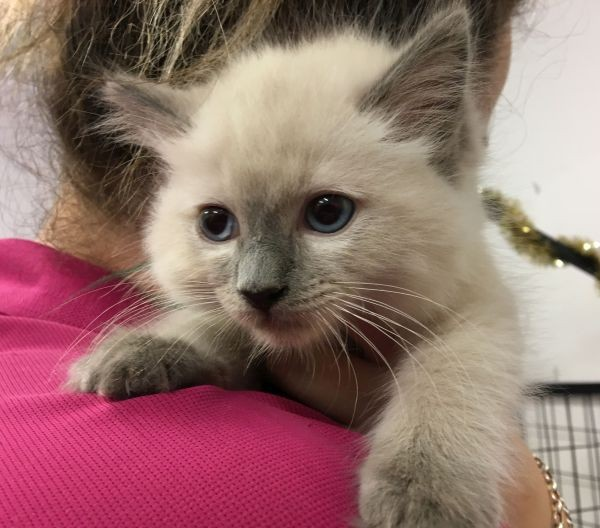 Jan 8 A male Ragdoll kitten with a blue collar