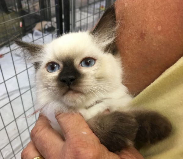 Ragdoll kitten with a dark orange and purple collar Beauty is the mum