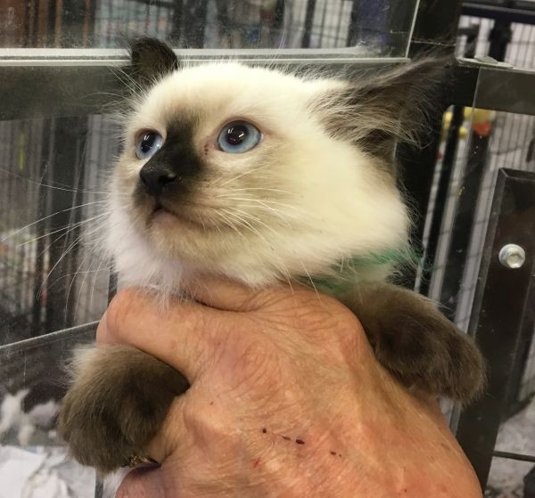 Ragdoll kitten with a green and purple collar Beauty is the mum
