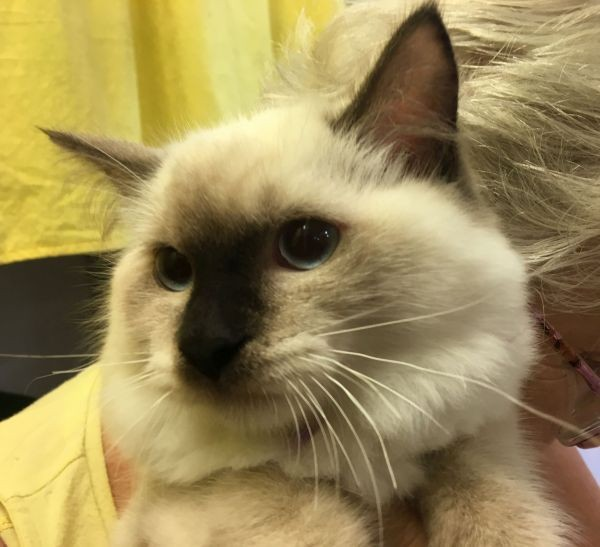 Apr 13 A male ragdoll kitten with a blue and purple collar Beauty is the mother