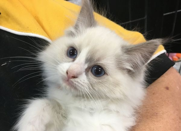 April 18 Female Ragdoll kitten with a blue and orange collar