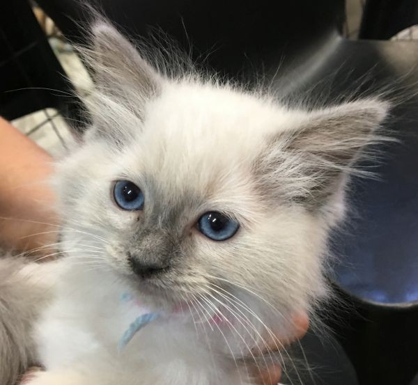 April 18 Female Ragdoll kitten with a blue pink and white collar