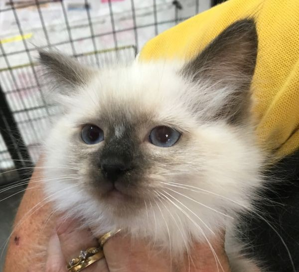 April 18 Male Ragdoll kitten with a blue yellow and orange collar