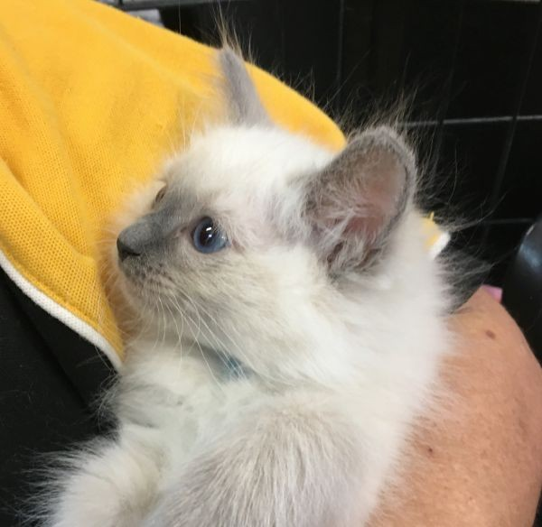 April 18 Male Ragdoll kitten with a double blue collar
