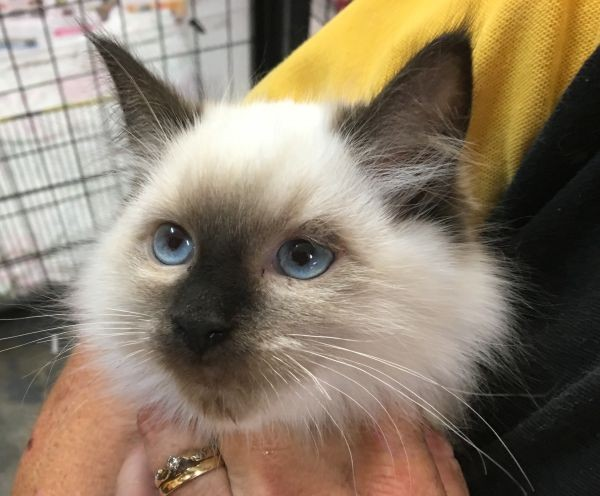 Apr 18 Male Ragdoll kitten with a pink and purple collar