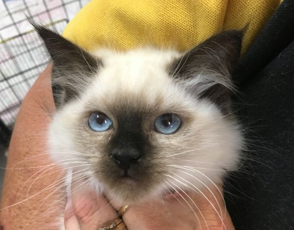 Apr 18 Female Ragdoll kitten with a double pink collar
