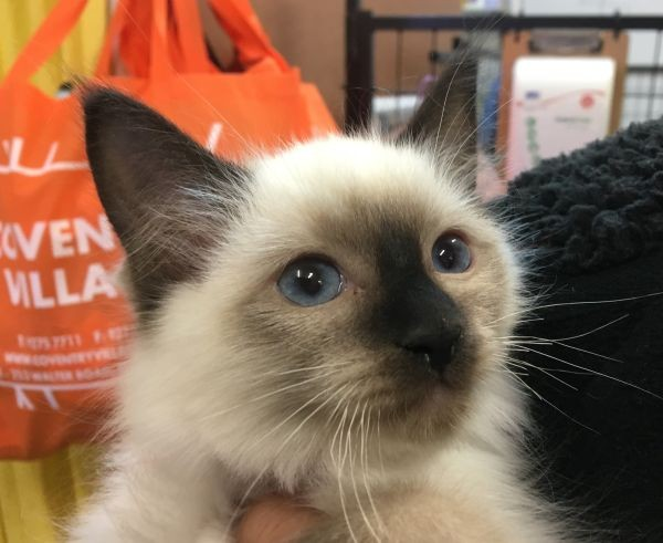 Apr 19 Male Ragdoll Kitten with a dark blue collar