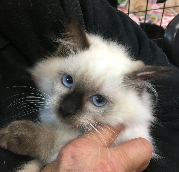 Apr 19 Male Ragdoll Kitten with a pink purple and yellow collar
