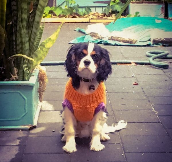 Lt Ripley the Cavalier King Charles