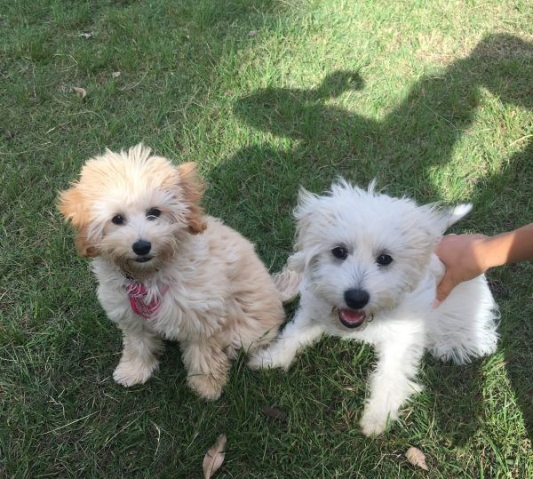 Ari and Lulu are sisters They are a Mini-Poodle Bichon Friese cross