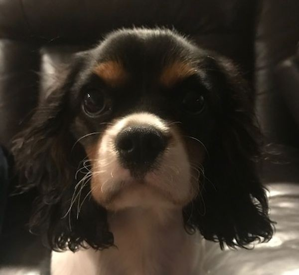 Charlotte the Cavalier King Charles Thanks for sending this Mike