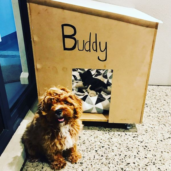 Buddy the Cavoodle in Stirling