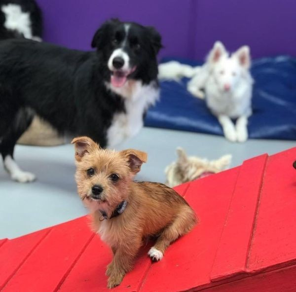 Harry the Maltese Pomeranian lives in Bayswater. In this pic he is chillin in daycare