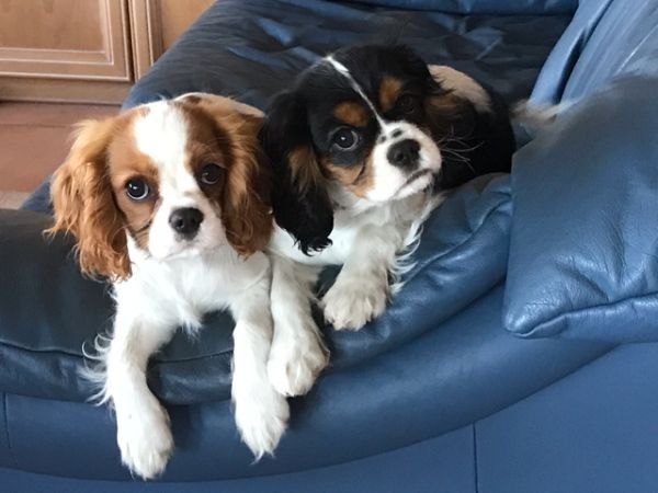 Here is Ruby and Lexi They are both Cavalier King Charles pups