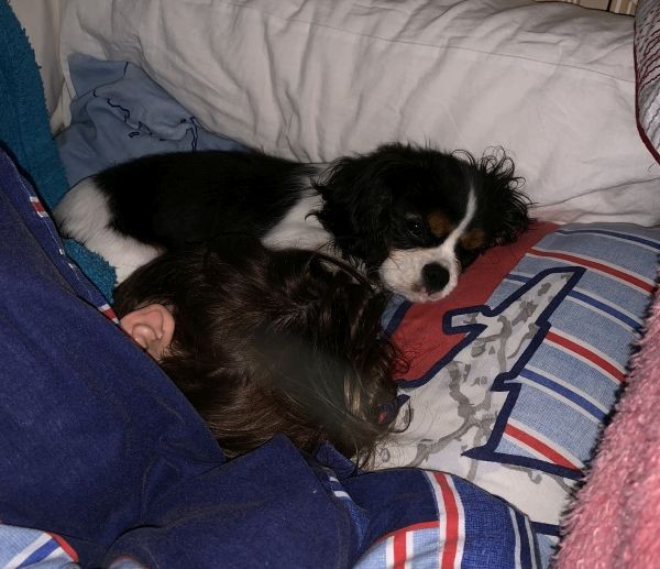 Rocky the Cavalier King Charles