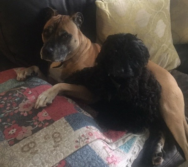 Here is Penny the Cocker Spaniel at home in Noranda with her new best mate Tama (a Staffy)