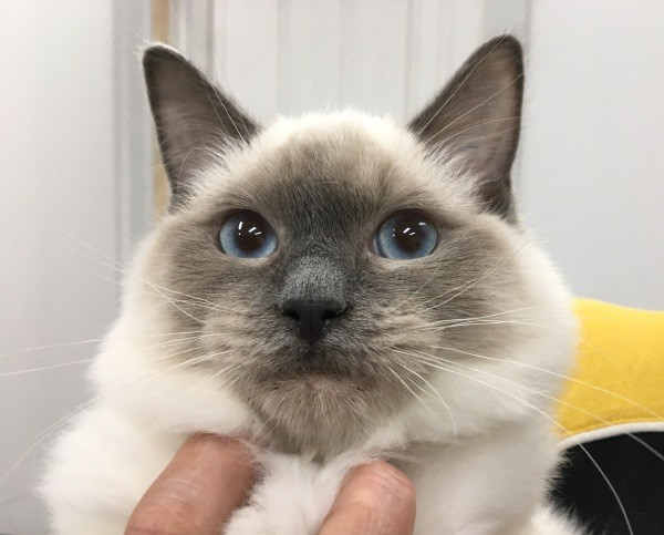 Updated image Male Ragdoll kitten with a blue and yellow collar