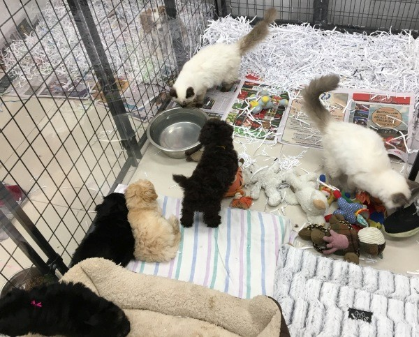 Ragdoll kittens and puppies in a pen 2