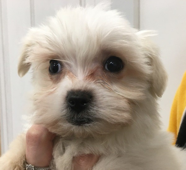 Aug 10 Maltese Shih Tzu female puppy with a pink collar