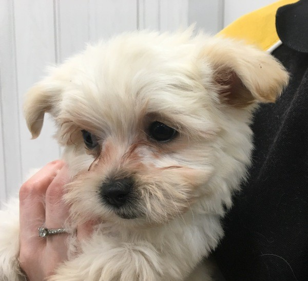 Aug 10 Maltese Shih Tzu cross female puppy with a yellow collar