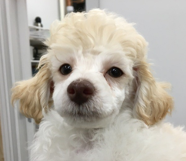 Aug 15 A female poodle with a white coat and apricot coloured ears