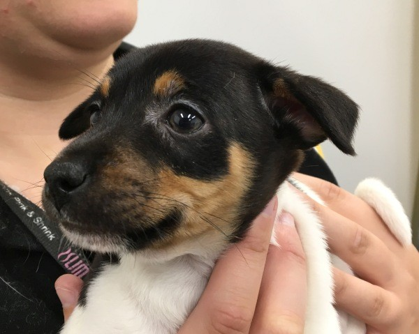 Aug 20 Jack Russell tri colour male puppy
