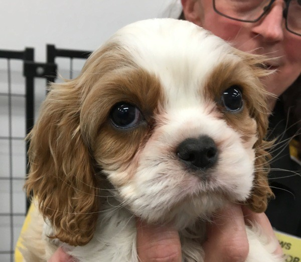 Aug 22 Female Cavalier King Charles puppy with a blenheim coat and a purple collar