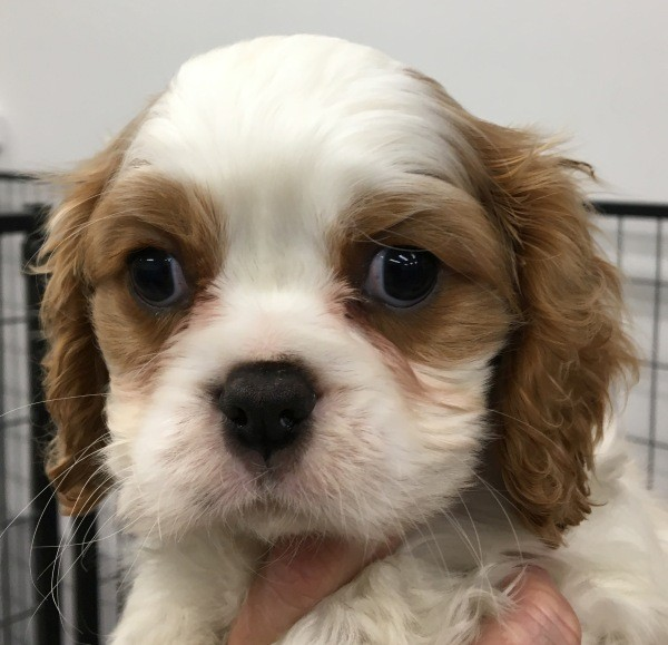 Aug 22 Male Cavalier King Charles puppy with a blenheim coat and a blue collar