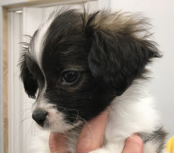 Aug 22 Male Papillon with a black sable coat and a blue collar