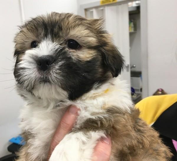 Dec 13 A Maltese Shih Tzu cross tri colour male puppy with a yellow collar