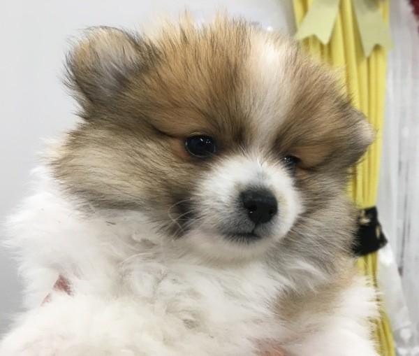 Dec 13 A Mini Pomeranian male tri coloured puppy